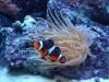 Saltwater fish & anemone
