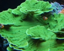 Green Montipora Coral