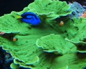 Green Montipora Coral with Blue Tang