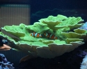Green Montipora with Clownfish
