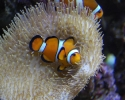 Oscellaris Clownfish in a Toadstool Leather